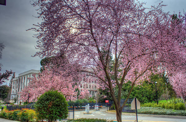 Lavendar Art Print featuring the photograph Capitol Tree by Randy Wehner Photography
