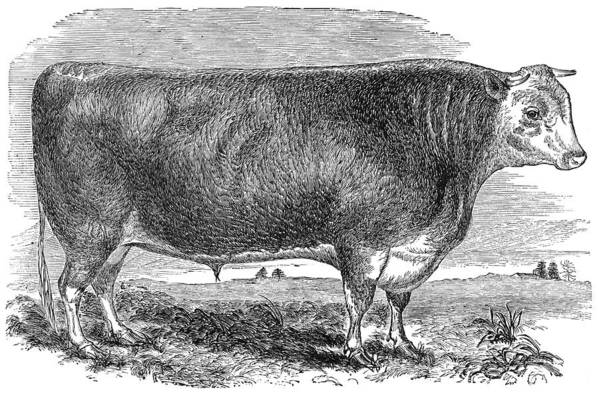 1880s Art Print featuring the photograph Cattle, C1880 by Granger