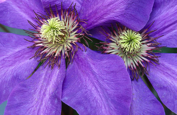 Flowers Art Print featuring the photograph Clematis Detail by Sandra Bronstein