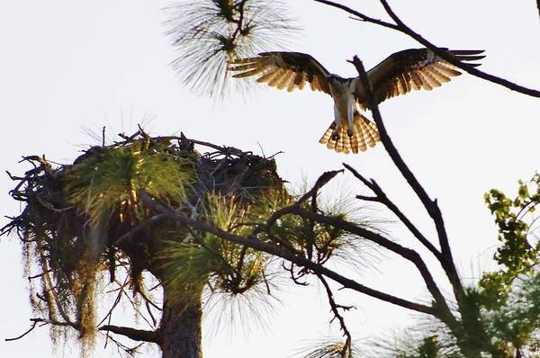 Osprey Art Print featuring the photograph Comin' Home by Don Youngclaus