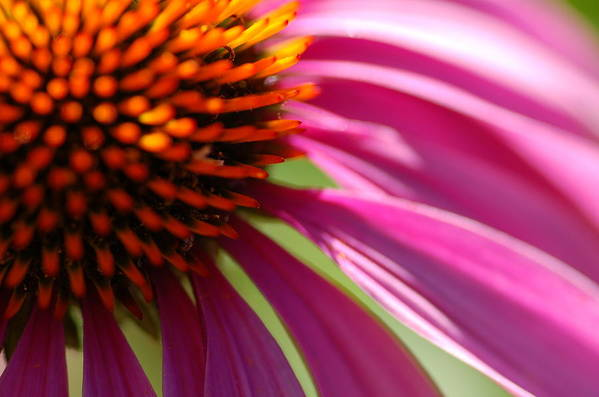 Macro Art Print featuring the photograph Cone Flower by Scott Gould