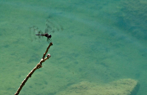 Dragonfly Art Print featuring the photograph Dragonfly Exercising Wings by Douglas Barnett