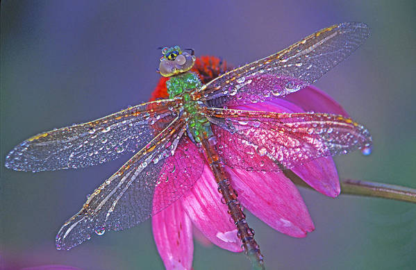 Dew Covered Dragonfly Rests On Purple Cone Flower Art Print featuring the photograph Dreaming Dragon by Bill Morgenstern