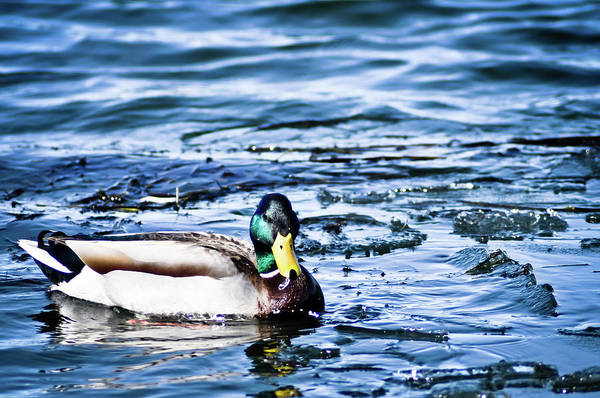 Duck Art Print featuring the photograph Duck by Brenton Woodruff