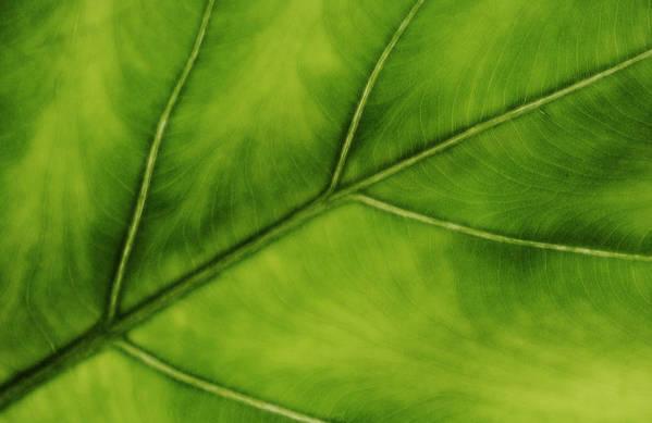 Leaf Art Print featuring the photograph Elephant Ear by Marilyn Hunt