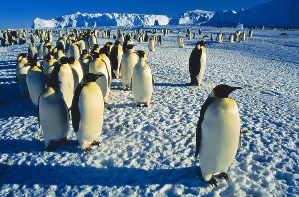 Antarctica Art Print featuring the photograph Emperors by Andy Townsend