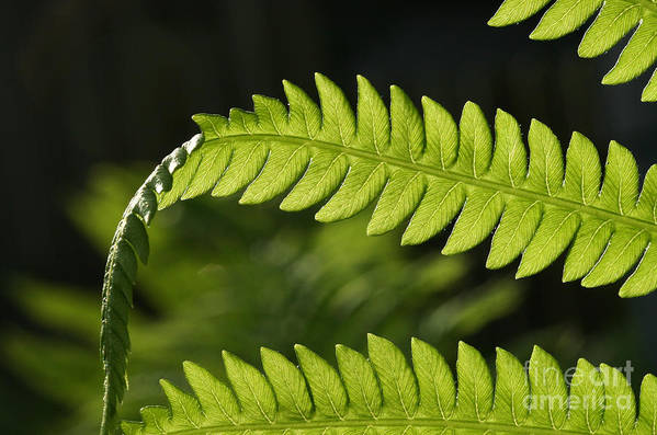 Garden Photo Art Print featuring the photograph Fern by Steve Augustin