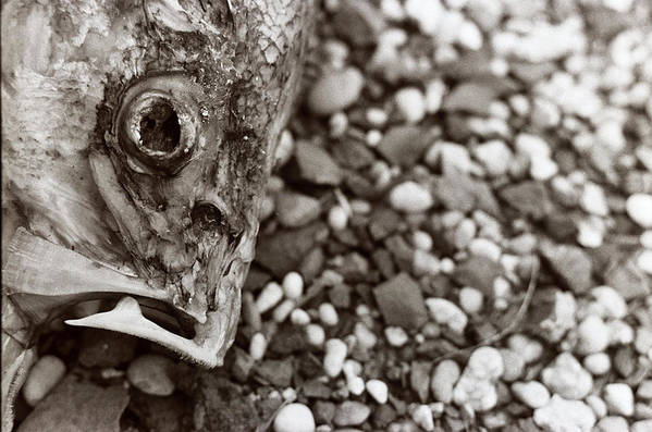 Photography Art Print featuring the photograph Fishbone 2 by Linnea Tober