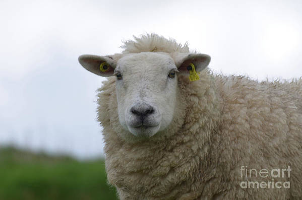 Sheep Art Print featuring the photograph Fuzzy White Sheep In A Remote Location by DejaVu Designs