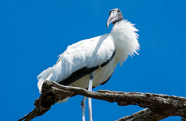 Wildlife Art Print featuring the photograph Glamorous Wood Stork by Kenneth Albin