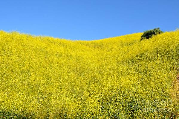 Mustard Seed Art Print featuring the photograph Gold Hills by Kiana Carr