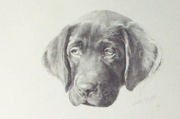 Dog Art Print featuring the drawing Gus - Chocolate Lab Pup by Judith Angell Meyer