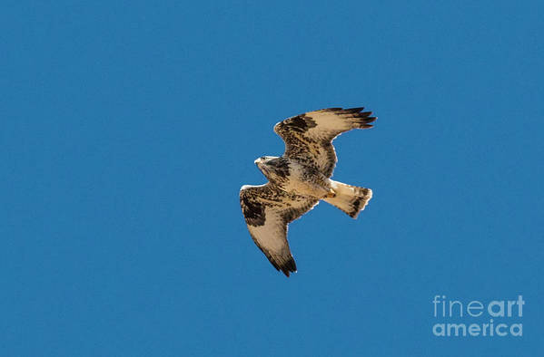 Hawk Art Print featuring the photograph Hawk In Flight by Steve Krull