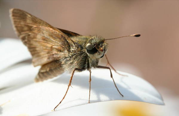 Moth Art Print featuring the photograph Hello There. by Jason Hochman