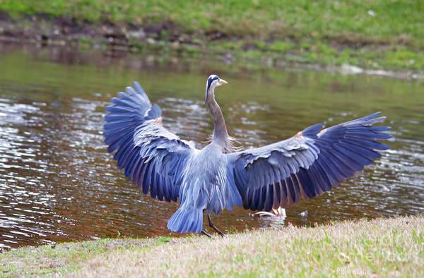 Blue Heron Art Print featuring the photograph Heron Bank Landing by Deborah Benoit