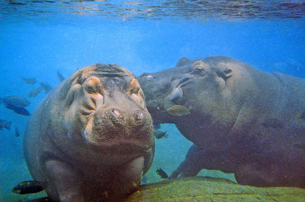 Animals Art Print featuring the photograph Hippos In Love by Steve Karol