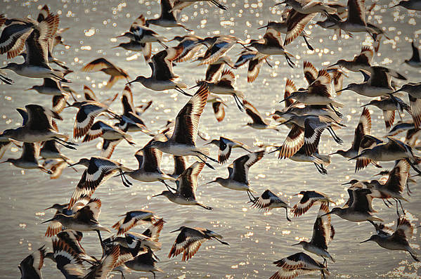 Birds Art Print featuring the photograph In Flight by Paul Causie