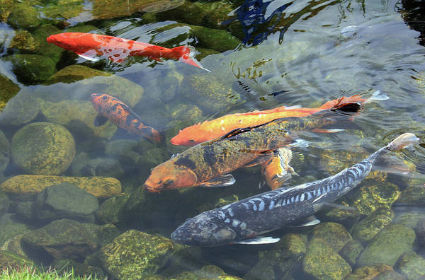 Fish Art Print featuring the photograph Koi In Pond I by Mary Haber