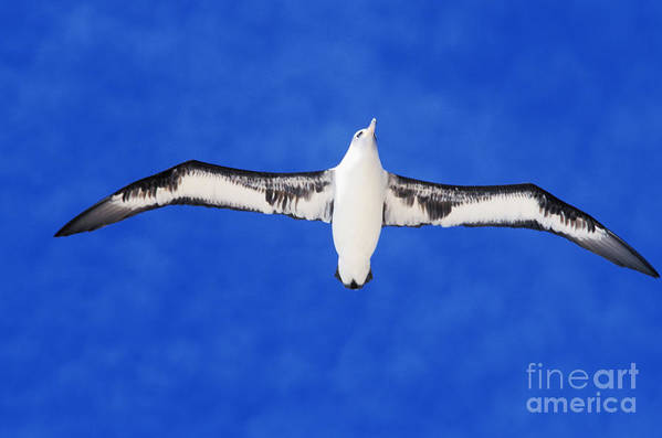Adult Art Print featuring the photograph Laysan Albatross by Ed Robinson - Printscapes