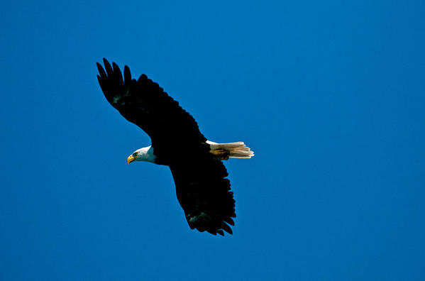 Eagle Art Print featuring the photograph Leisure Flight by Paul Mangold