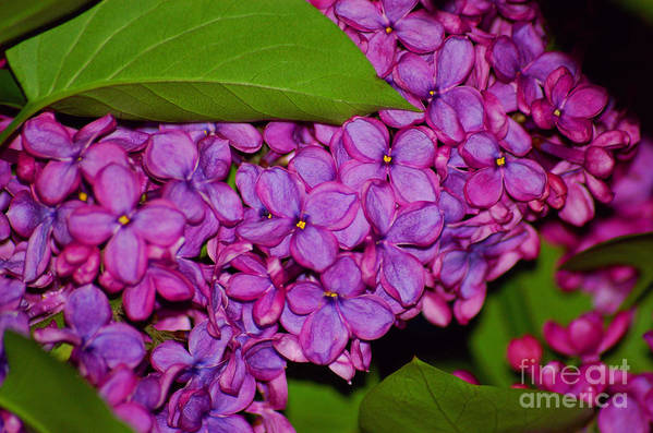 Lilac Art Print featuring the photograph Lilac In The Dark by Elizabeth Stone