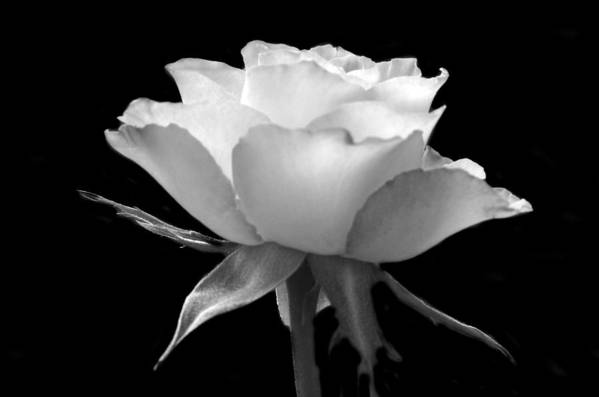 Black And White Art Print featuring the photograph Luminous Rose by Terence Davis