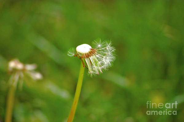 Dandelion Art Print featuring the photograph Make A Wish by Elizabeth Stone