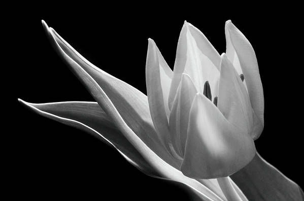 Monochrome Flower Art Print featuring the photograph Monochrome Tulip by Terence Davis