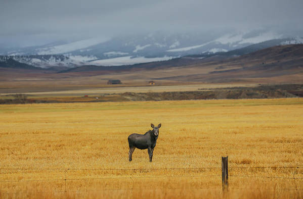 Sam Amato Photography Art Print featuring the photograph Montana Moose by Sam Amato
