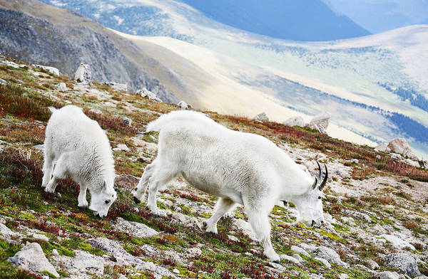 Mountain Art Print featuring the photograph Mountain Goats 1 by Marilyn Hunt