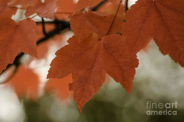 October Art Print featuring the photograph October Red by Nick Boren