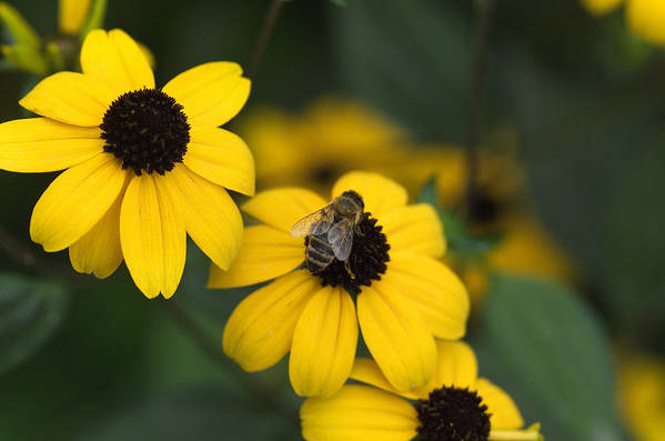 Yellow Art Print featuring the photograph One Bee Over The Flower's Nest by Adrian Bud