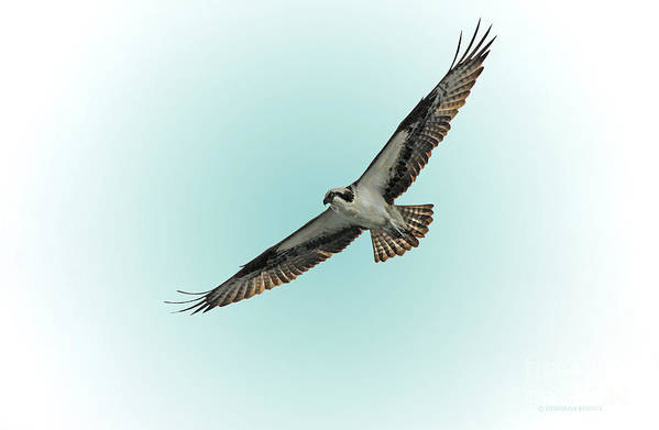 Bird Art Print featuring the photograph Osprey Soar 2 by Deborah Benoit