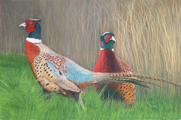 Pheasant Art Print featuring the drawing Ring-necked Pheasants by Marlene Piccolin