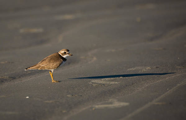 Bird Art Print featuring the photograph Shadow - Semipalmated Plover by Christy Cox