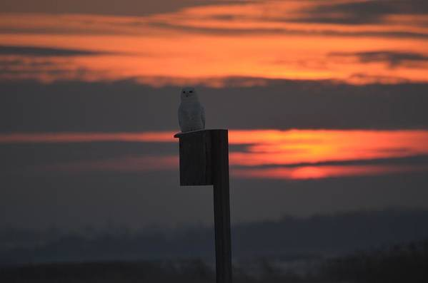 Owl Wildlife Art Print featuring the photograph Snowy At Sunset by Christine Russell