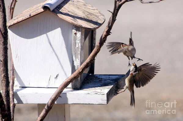 Bird Art Print featuring the photograph Sparrows In Fight by Marjorie Imbeau
