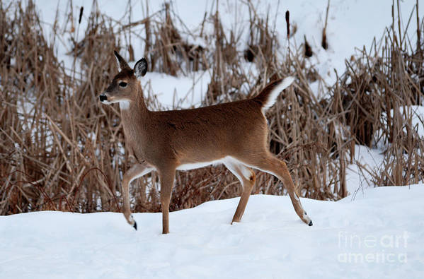 Deer Art Print featuring the photograph Strolling Along by Lori Tambakis