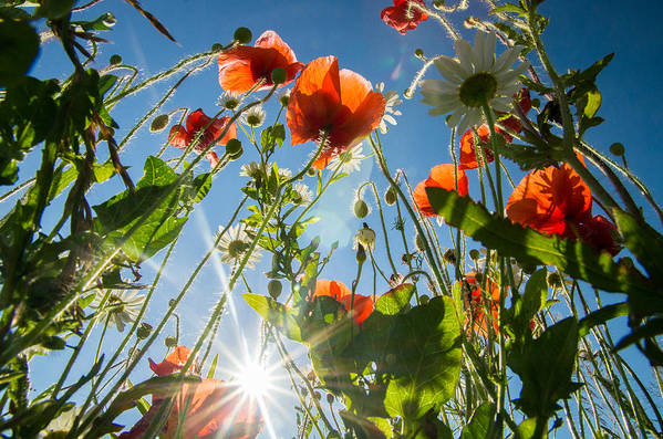 Poppies Art Print featuring the photograph Summer Meadow by Victoria Savostianova