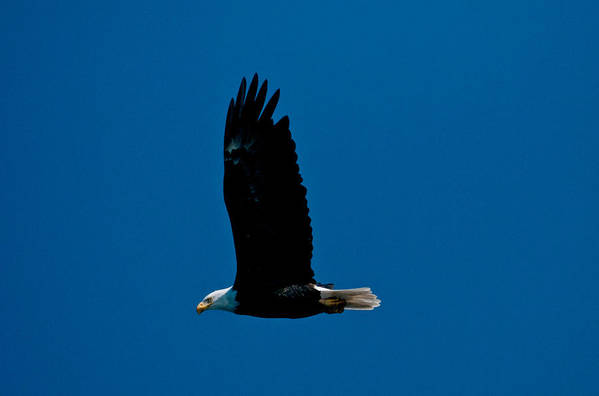 Eagle Art Print featuring the photograph Sunday Morning Flight by Paul Mangold