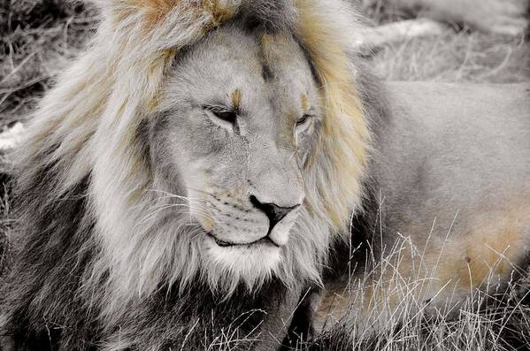 Lion Art Print featuring the painting The King by George Silaghi
