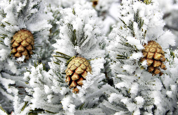 Frosty Art Print featuring the photograph Three Pinecones by Marilyn Hunt