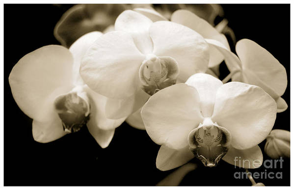 Beauty Flower Art Print featuring the photograph Threesome by Son Of the Moon