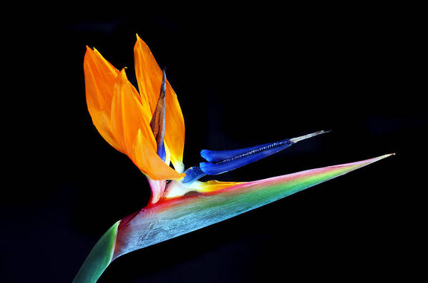 Bird Of Paradise Flower Print featuring the photograph Tropical Beauty by Terence Davis