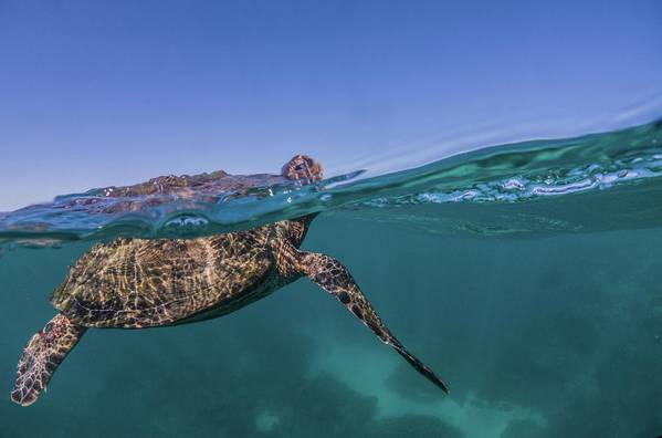 Ocean Art Print featuring the photograph Turtle Breath by David Palfrey