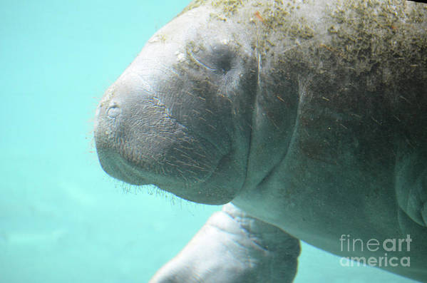 Manatee Art Print featuring the photograph Up Close With A Manatee by DejaVu Designs