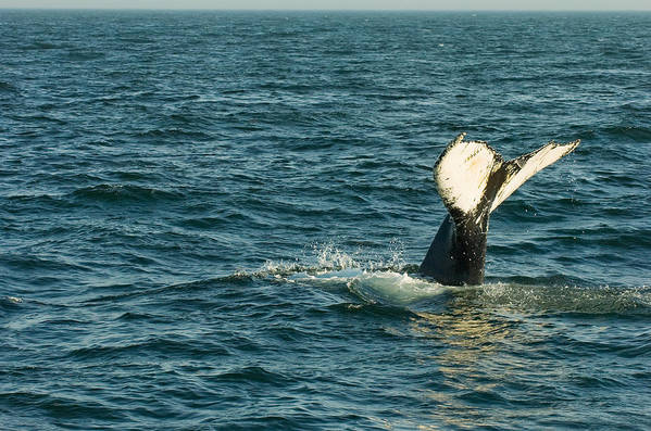 Whale Art Print featuring the photograph Whale by Sebastian Musial
