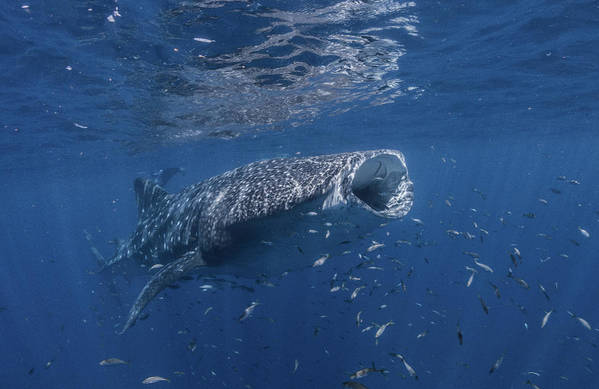 Whaleshark Art Print featuring the photograph Whaleshark Feeding by David Palfrey