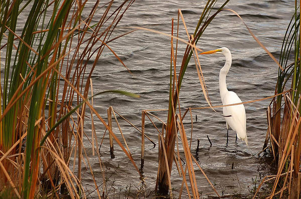 White Heron Art Print featuring the photograph White Heron by Mandy Wiltse