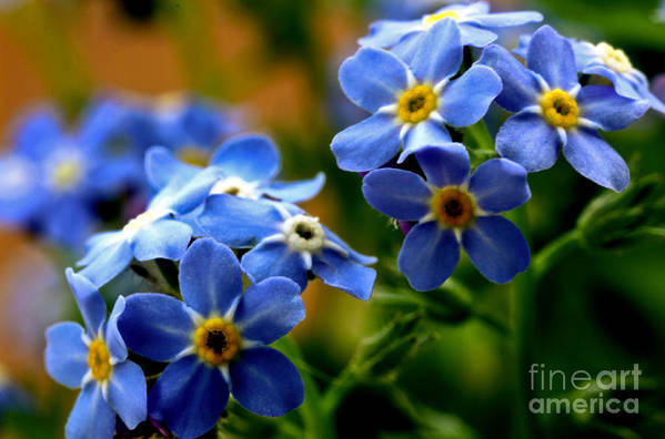 myosotis Sylvatica Art Print featuring the photograph Wood Forget Me Not Blue Bunch by Ryan Kelly